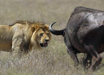 Vídeo donde un Búfalo mata a un león