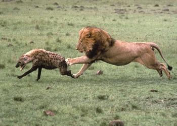Video del ataque de leon adulto