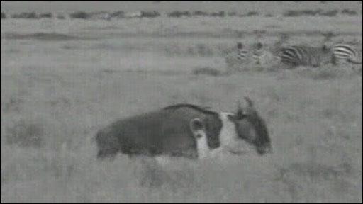León cazando un Ñu
