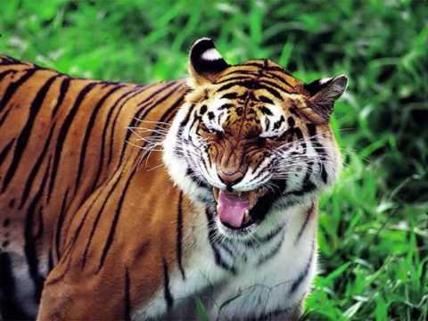 Tigre atacando cocodrilo (y más)