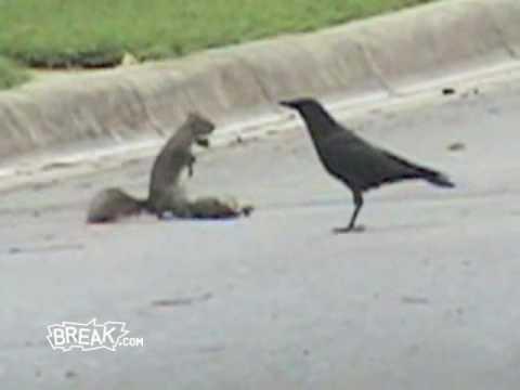 Una ardilla defiende un cadáver ante los cuervos