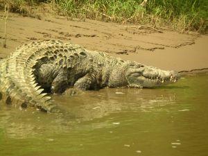 Ataque de cocodrilos