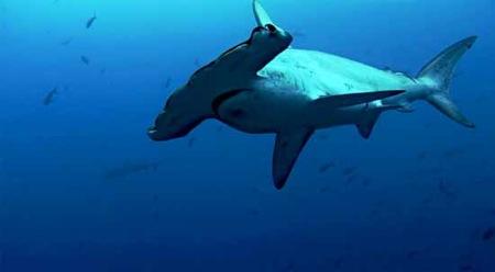 Cientos de tiburones visitan una montaña marina