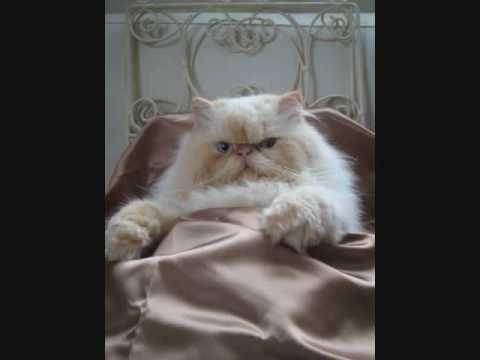 El Gato himalayo impasible recién duchado