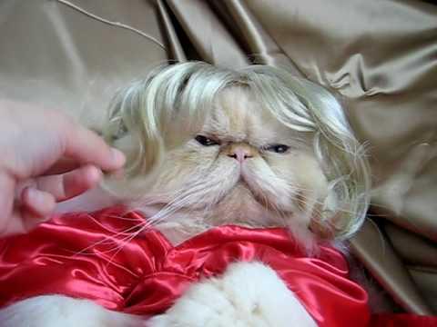 El Impasible Gato Himalayo de princesa