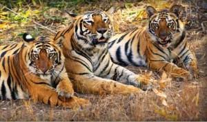 Un día con una familia de tigres (HD)
