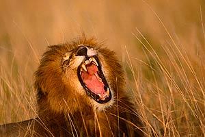 Enfrentamiento entre leones y leopardos (HD)