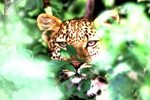 Leopardo acercándose a unos excursionistas