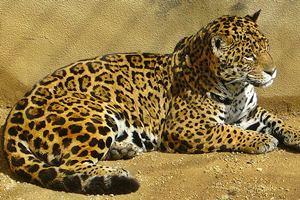 Leopardo persigue (y caza) a un macaco (HD)
