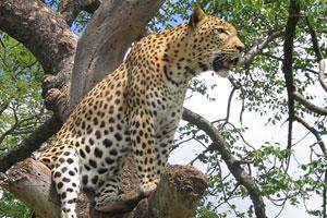 Leones y leopardos cazando (HD)