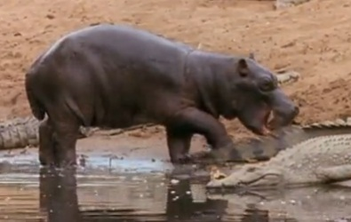 Hipopótamos jugando con cocodrilos