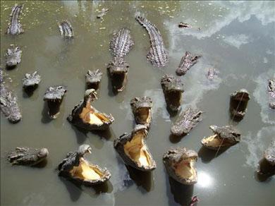 Cocodrilos devorando un hipopótamo