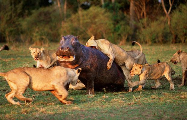 Hipopótamo contra manada de leones