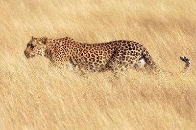 Así caza el Leopardo