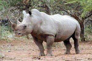 Reportaje sobre el rinoceronte blanco