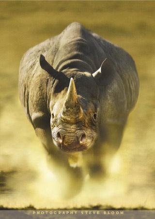 Rinoceronte se defiende de una manada de leones