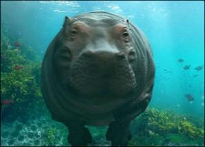 Animales en video Hipopotamo en el agua