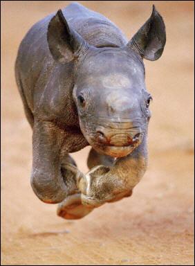 Joven rinoceronte cuidado por un humano (HD)